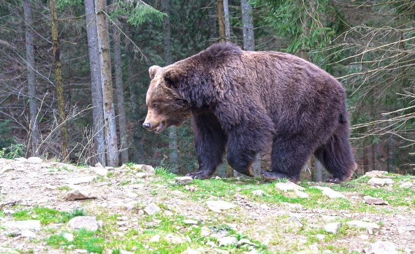 medved šuma