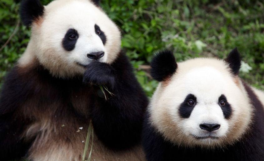 panda beč zoo